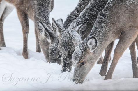 Four deer 1 (1 of 1)