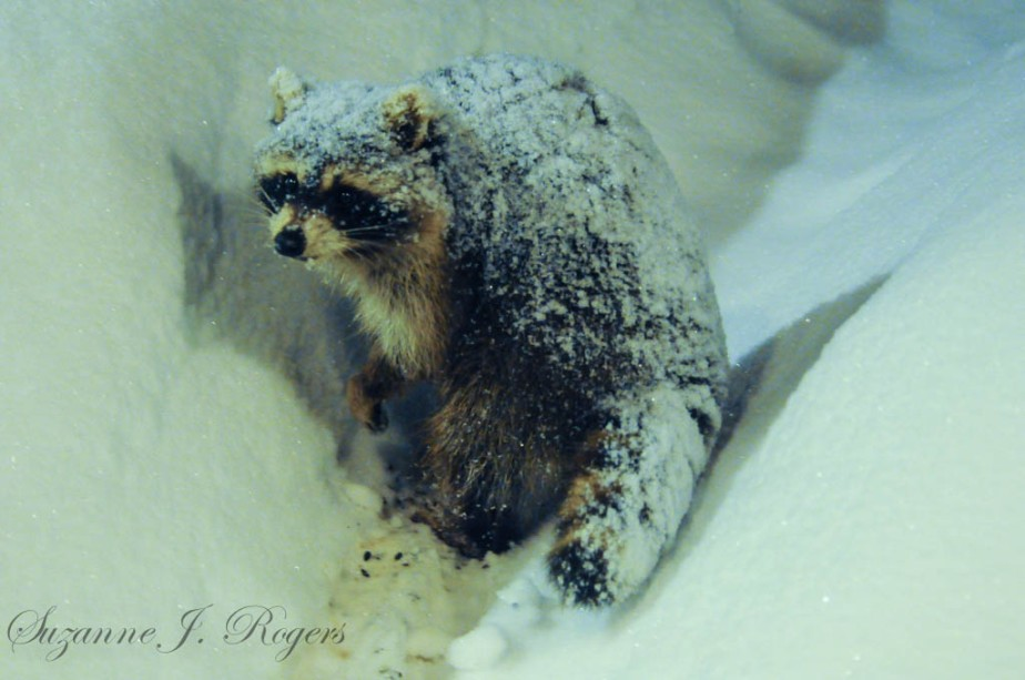 Watermark The snowy raccoon 3 (1 of 1)