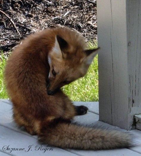 SPRING FOX (1 of 1)