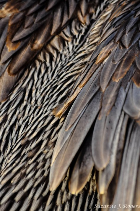 Pelican feathers    3237 (1 of 1)