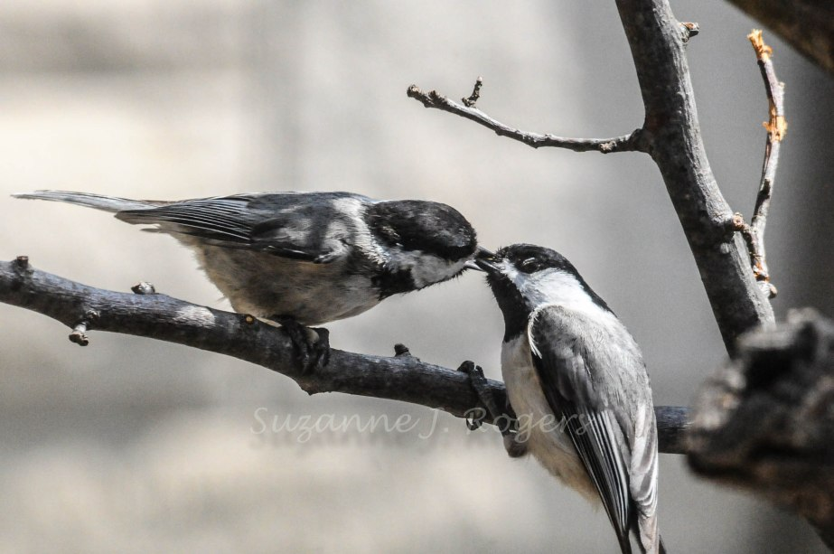Watermark   SWEET BIRDS     1060 (1 of 1)