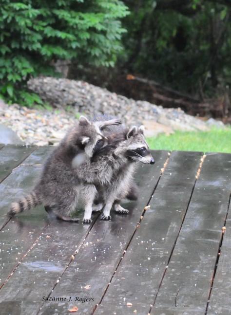 DSC_1993 loving baby raccoon_edited-1