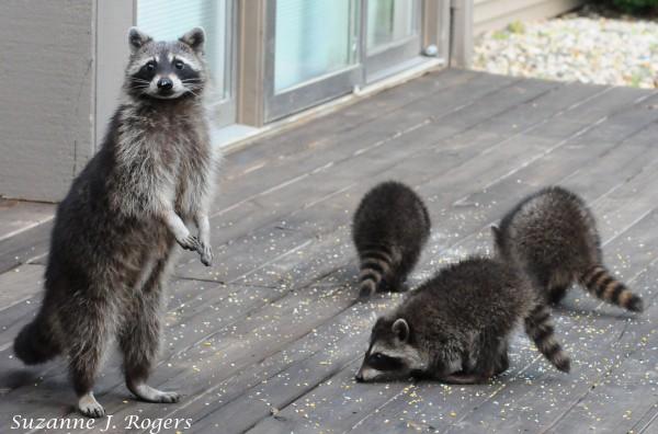 DSC_2177  Standing Mama Raccoon