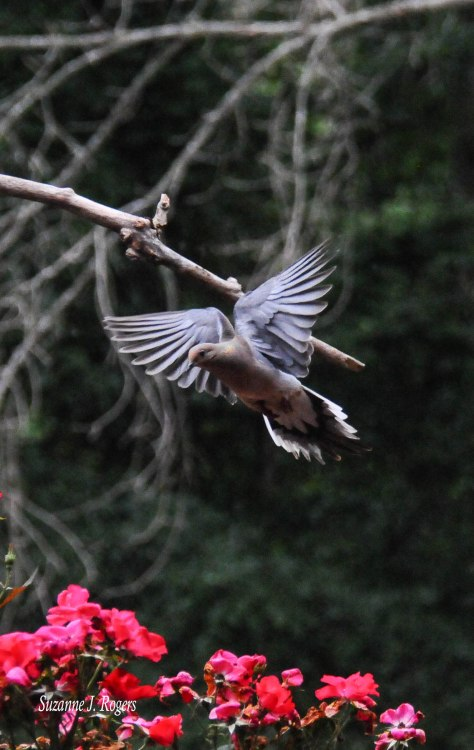 mourning dove 1 (1 of 1)