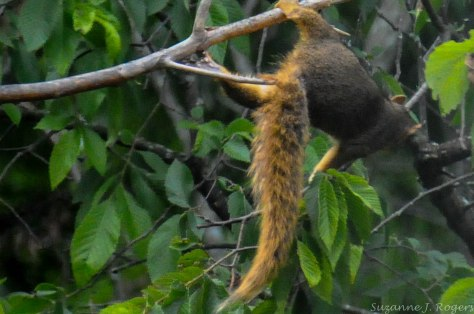 Squirrel in tree 5162 (1 of 1)
