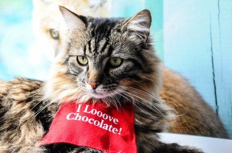 Chocolate Loving Cat (1 of 1)