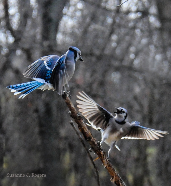 2763 Blue Jay Study 11