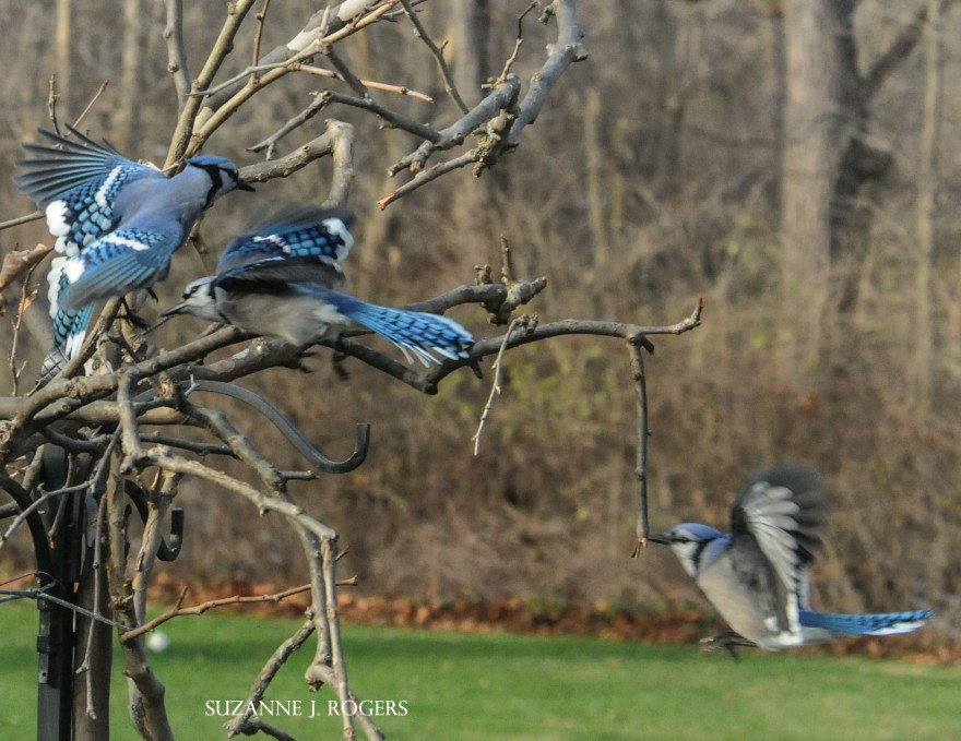 6395 blue jays  in action 1