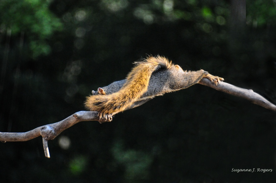 WM 5968 Stretched out on the branch squirrel (39 of 1)