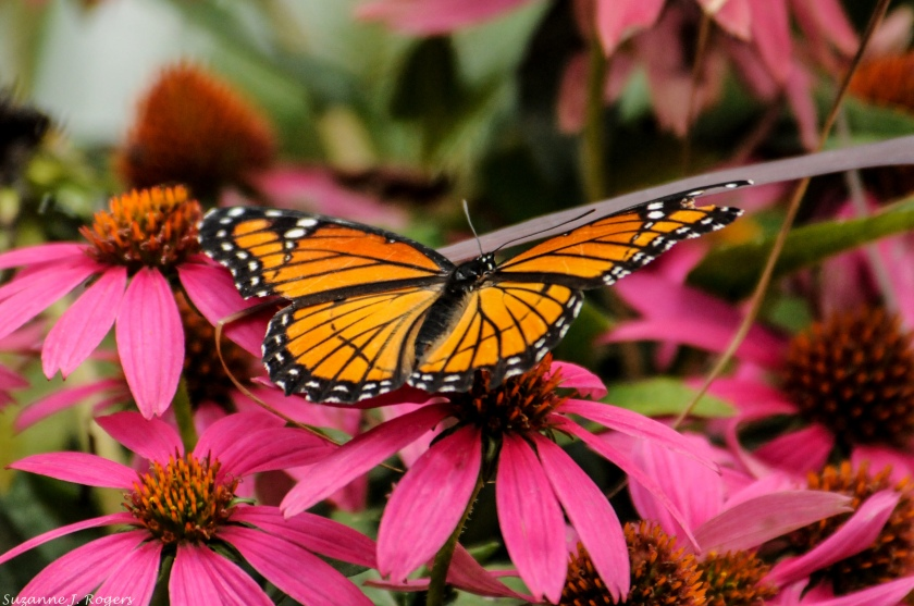 4517-monarch-and-pink-39-of-1