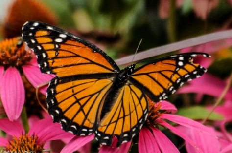4520-monarch-and-pink-39-of-1