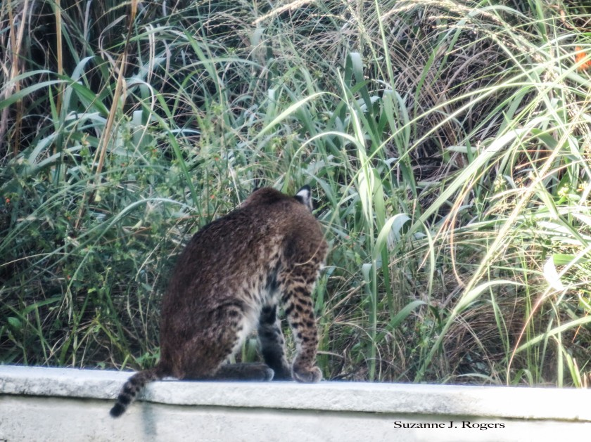 0503-wm-the-young-bobcat-39-of-1