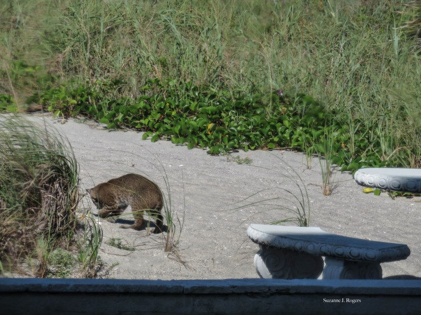 0509-the-young-bobcat-39-of-1-copy