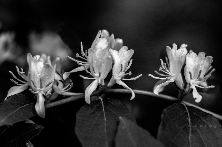 BW Honeysuckle (39 of 1)