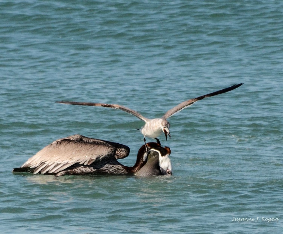 Pelican with seagull on it's head (39 of 1)