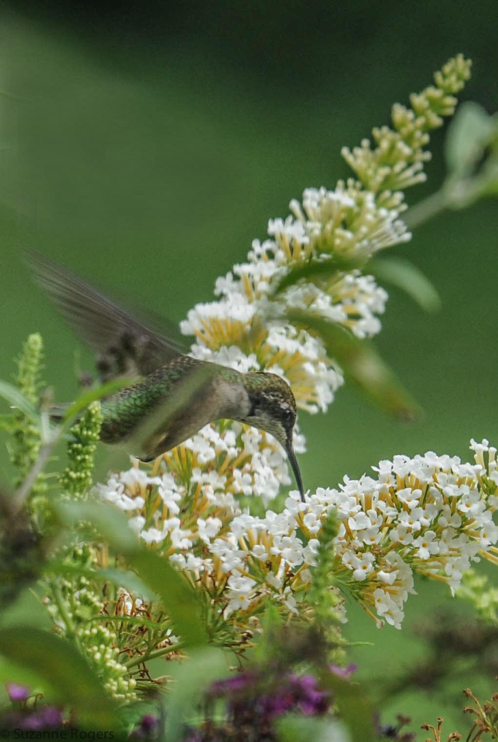 3751 Hummingnbird sip WM (39 of 1)