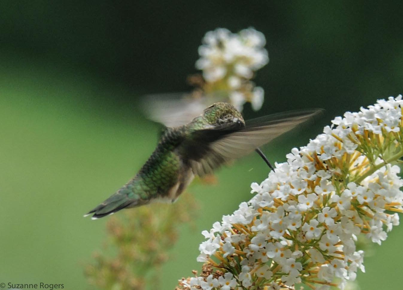 3760 wm Hummingnbird (39 of 1)