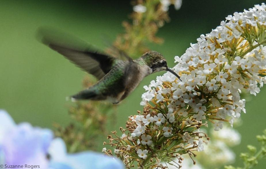 3761 wm Hummingnbird (39 of 1)