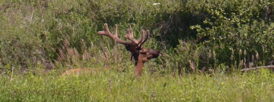 WM 5404 Bull Elk