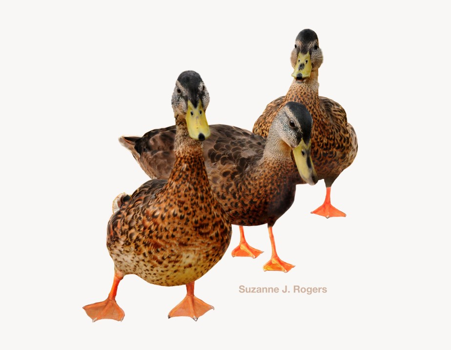 We three ducks_WM