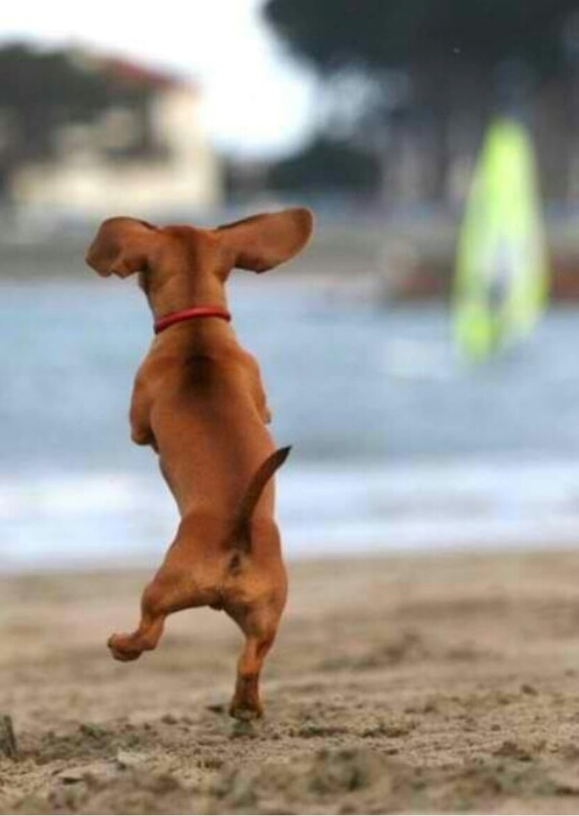 Dancing Doxie