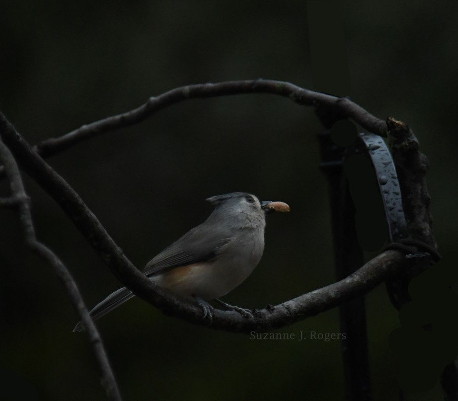 WM Rainy day Titmouse