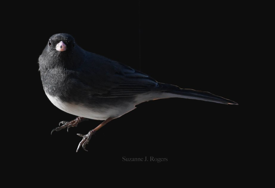 DSC_0662 Dark Junco WM