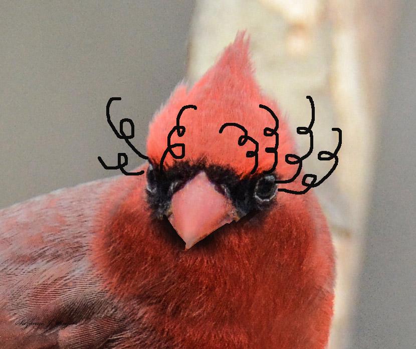 eyelash cardinal