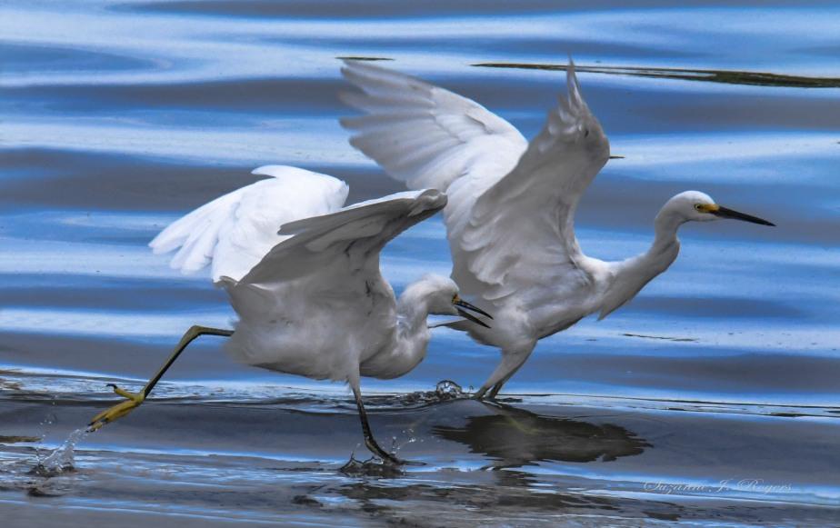 7706 egrets running