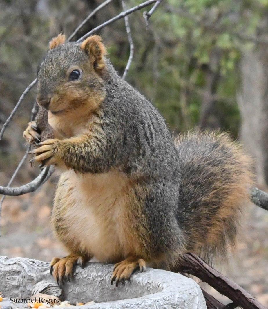 DSC_1647 Finally a Squirrel 1