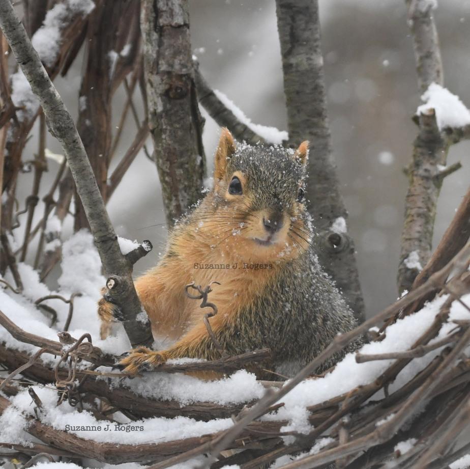 dsc_5708 2 wm grape squirrel