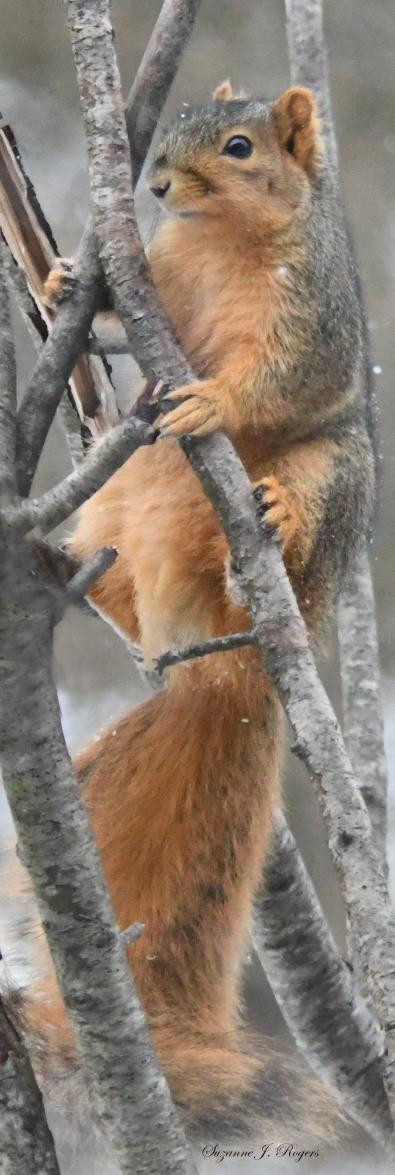 wm dsc_0312 snowy squirrel