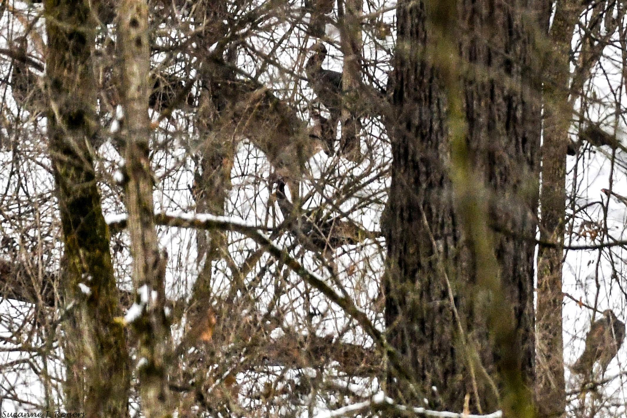 9459 Lighter Deer in the woods with the turkeys WM (39 of 1)