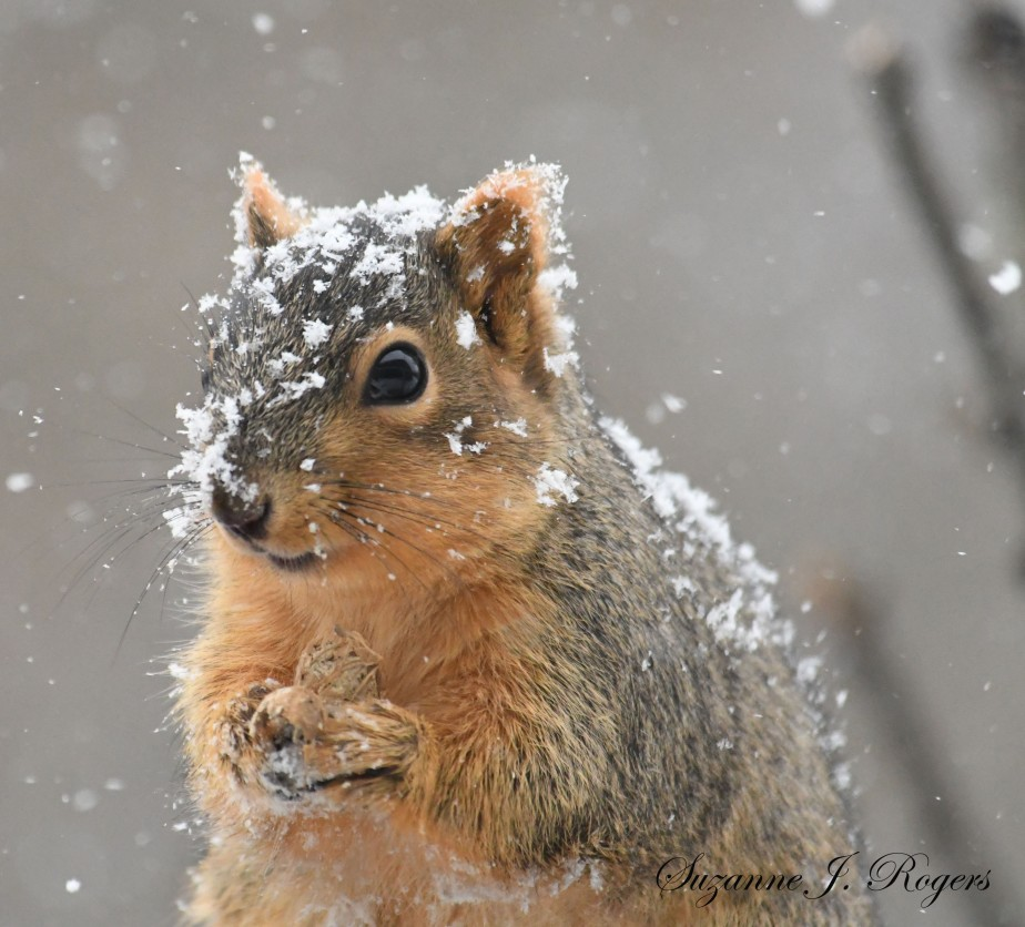 DSC_1724 January squirrel 1