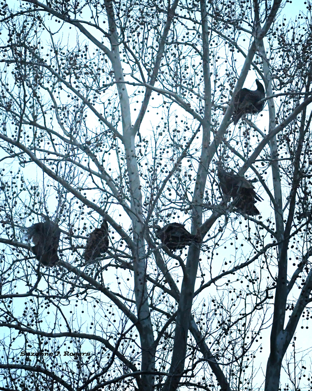 DSC_3902 wm Five or six turkeys in the tree