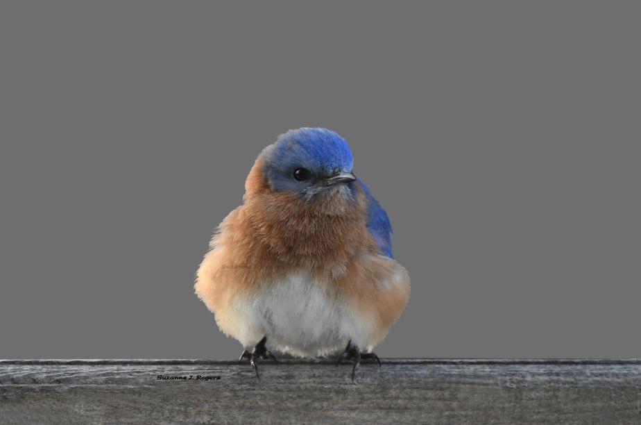 DSC_5574_Little blue bird 4 wms
