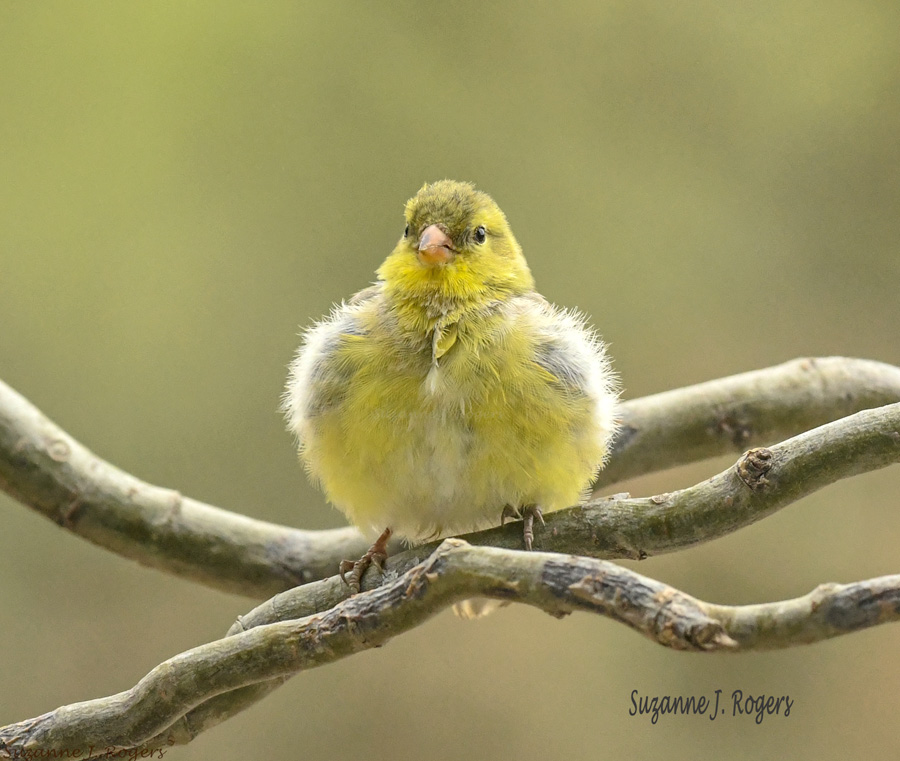 4033 2wms puffy goldfinch