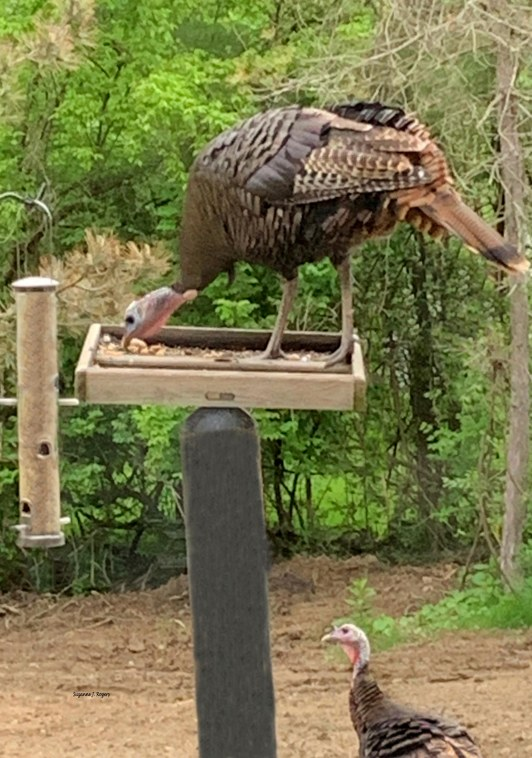 Iturkey in the feeder 3 2 wms