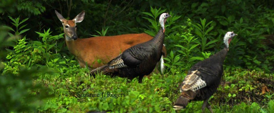 cropped-dsc_9831-deer-and-two-turkeys-for-header-wm.jpg