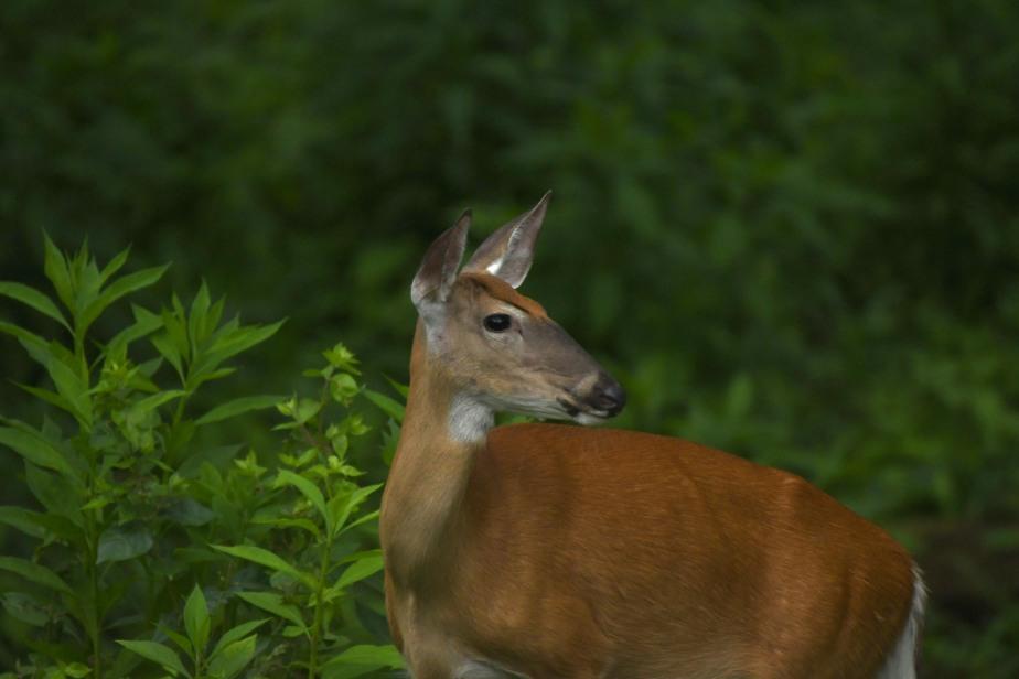 DSC_9739 deer in the woods wm