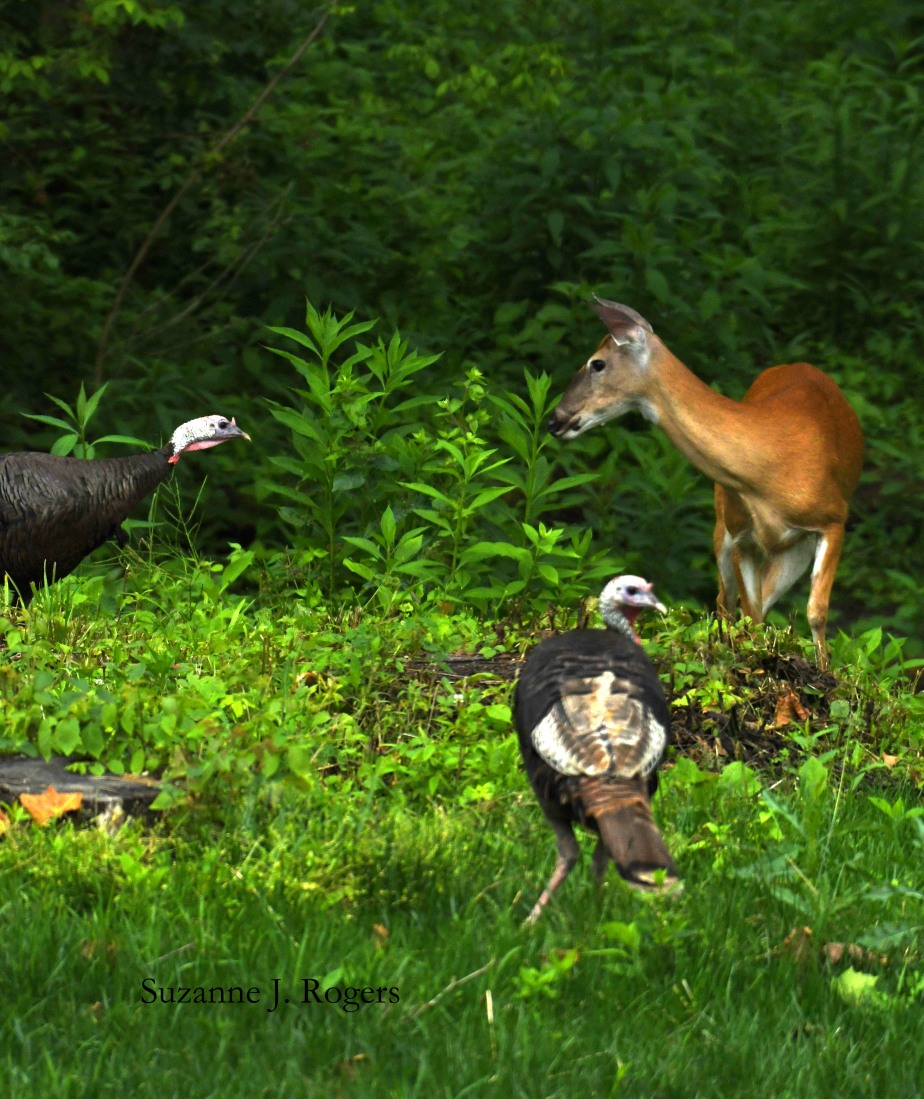 DSC_9803 deer and TWO turkeys wm