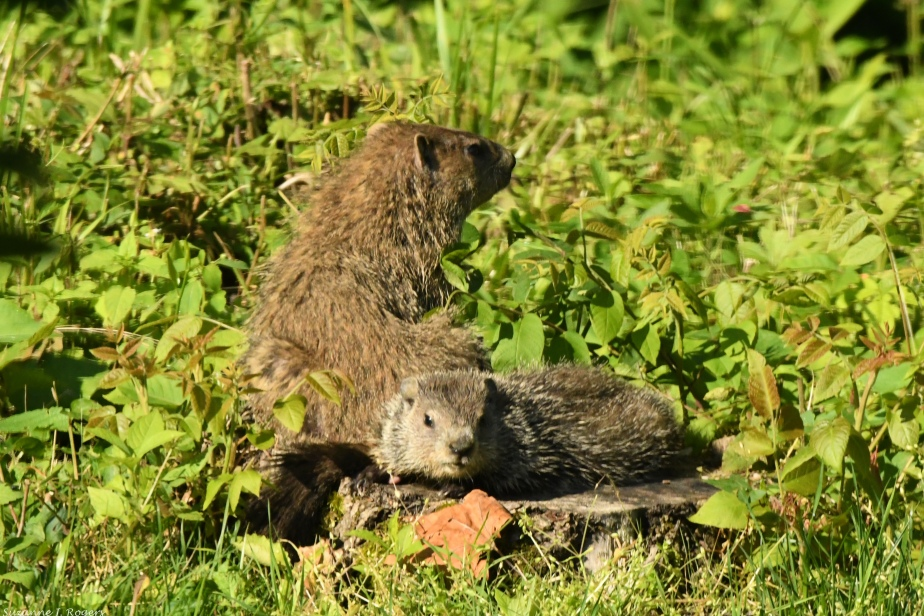 9930-2 Groundhog siblings wm (39 of 1)