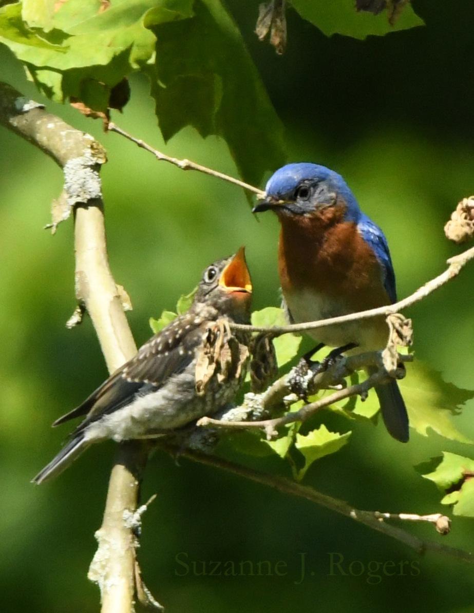 DSC_0281 Mother and baby bluebird wm