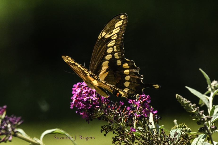 side swallowtail wm (39 of 1)