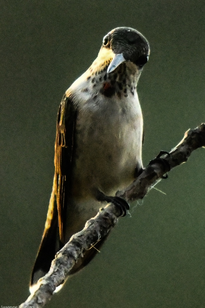 0577 Late afternoon hummingbird wm (39 of 1)