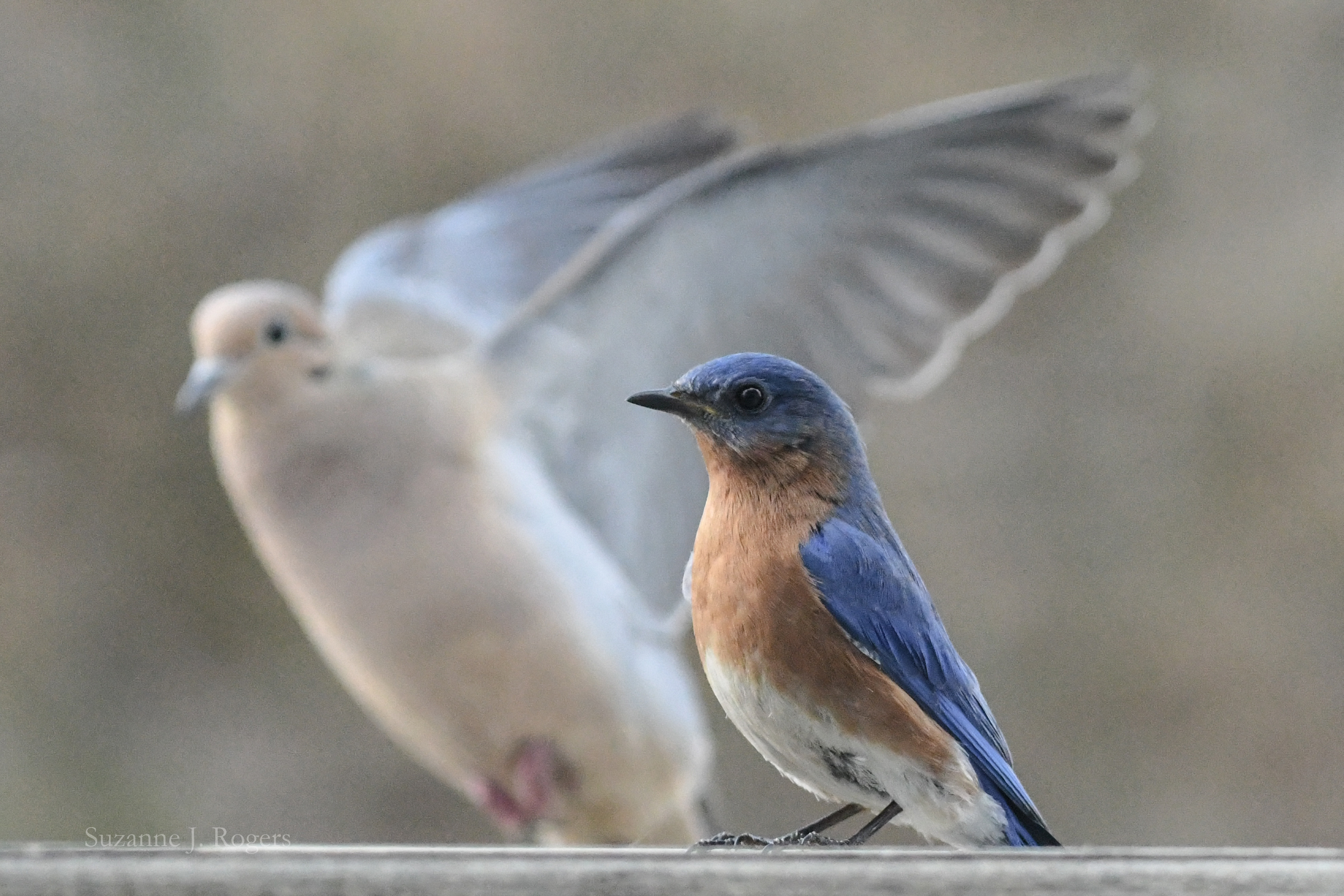 7618 Dove and male bluebird wm (