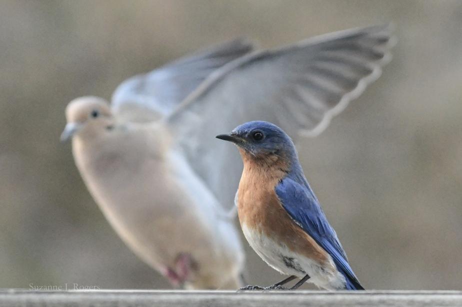 7618 Dove and male bluebird wm (