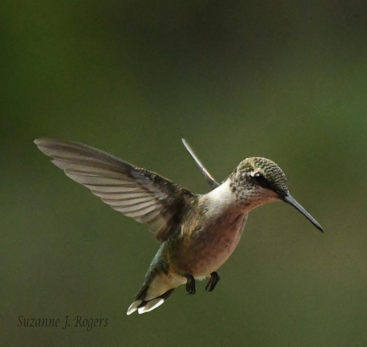 DSC_1610 Hummingbird wm