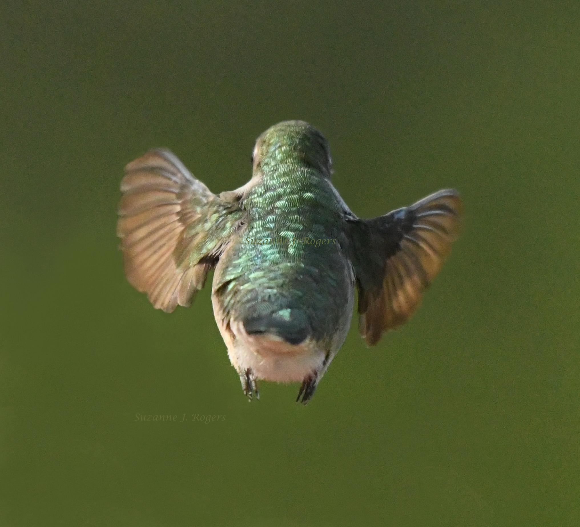 DSC_2153 Hummingbird 2 wms