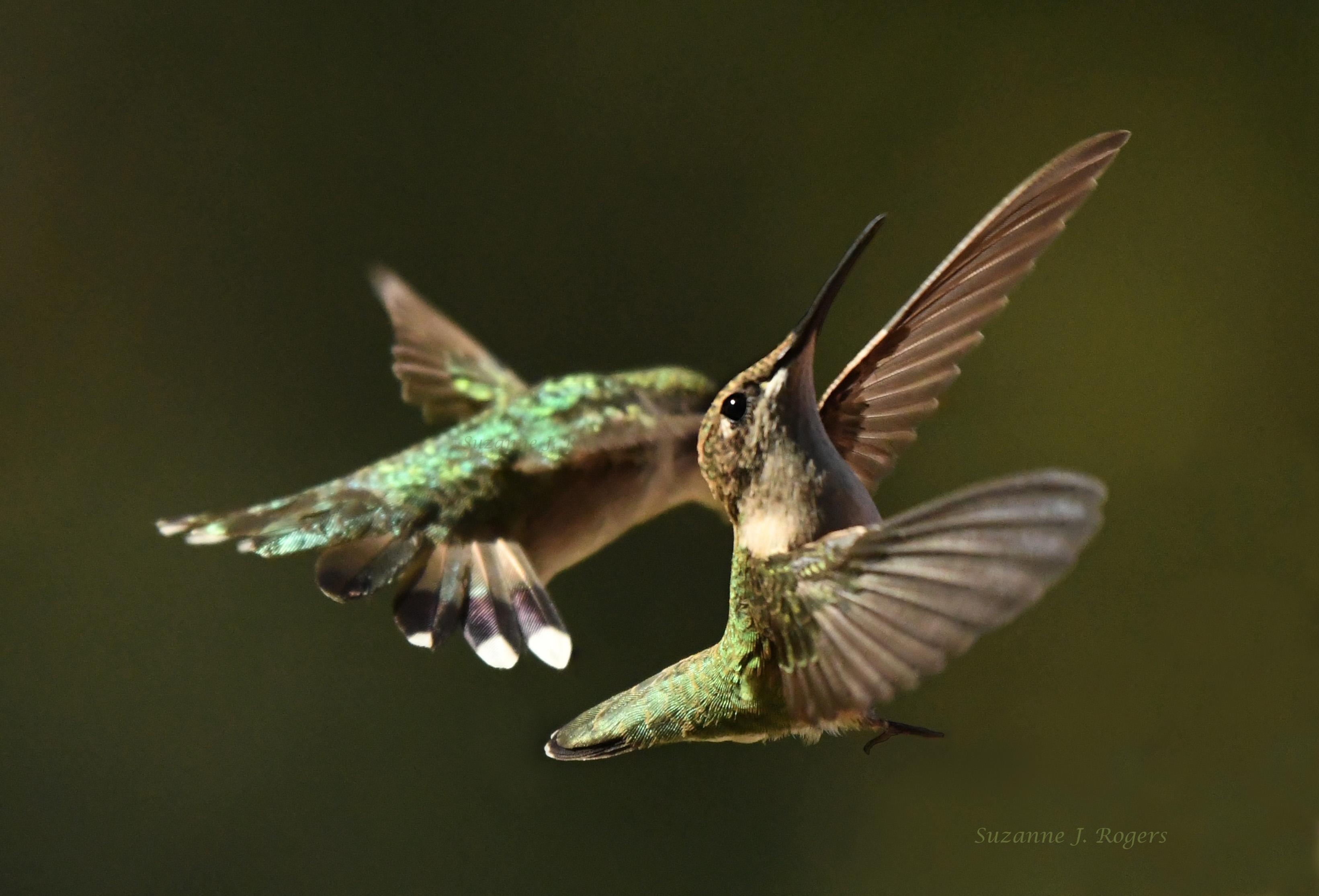 DSC_2845 2 wms Hummingbird ballet